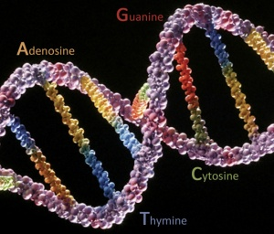 The four DNA nucleotides