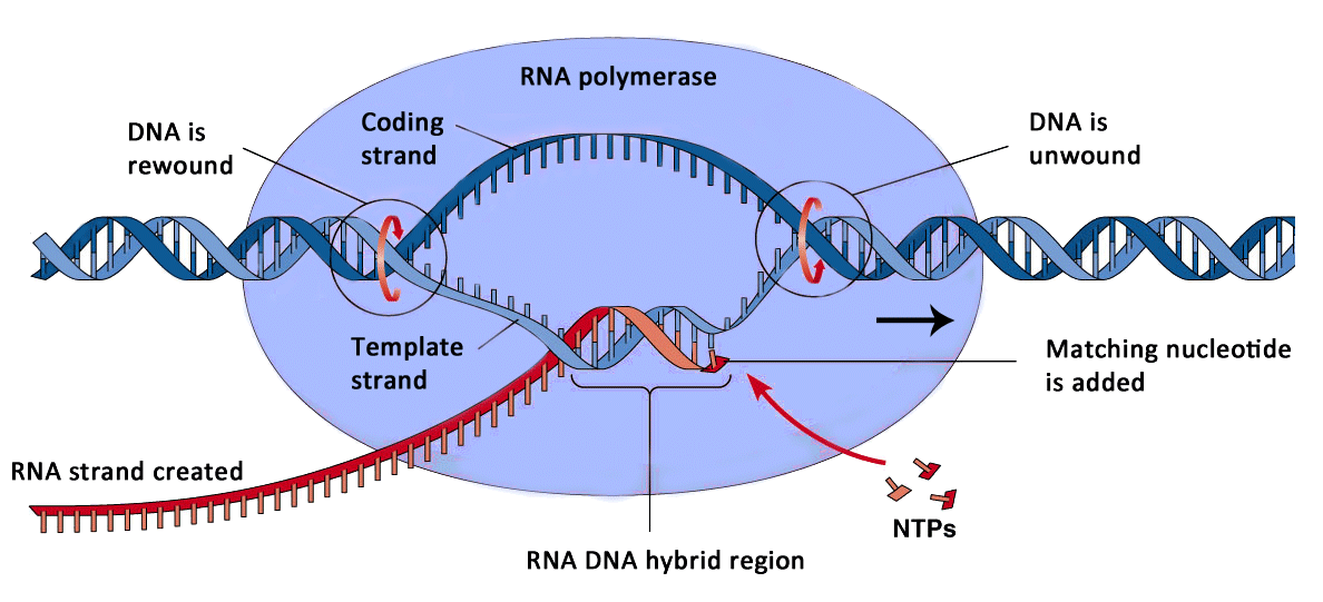 Dna Replication And Protein Synthesis Mind42 Free Online Mind