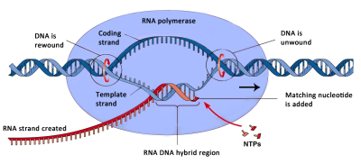 DNA Transcription Process